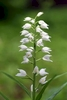 Sword-leaved-Helleborine