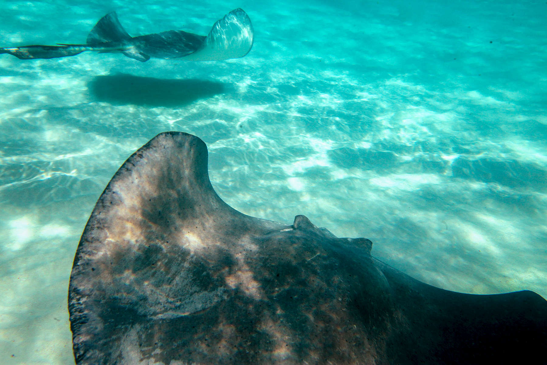 Grand Cayman Island stingrays. Underwater, travel photography by Perry Reichanadter, Wayne Images.