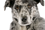 Dog_Portrait_Catahoula