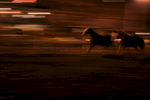 Horses run at night in one of the paddocks at the ranch in Queens.--The Federation of Black Cowboys is a nonprofit fraternal organization headquartered at a ranch straddling the Brooklyn- Queens line in New York City. As a 501(c)3 organization, they {quote}seek to create greater understanding of African American culture and heritage{quote} and {quote}endeavor to provide educational opportunities for the young public of New York.{quote} There are around 35 Federation members, all committed to keeping alive the history of African Americans like Nat Love, Bill Pickett, and Stagecoach Mary Fields in the old West.Federation membership ranges from former insurance salesmen and city transit workers to former rodeo stars and rural transplants. Founded in 1994, the organization is headquartered at Cedar Lane Stables in Howard Beach, Queens. One of the ways in which the Federation engages with the community is through a Saturday program for at-risk youth. Each Saturday for an entire semester, a class of students is bussed to the ranch to attend mandatory educational sessions with topics ranging from respect and self-esteem to horse care and riding. Most of the program's participants have never seen a horse in person before, let alone touched or rode one.