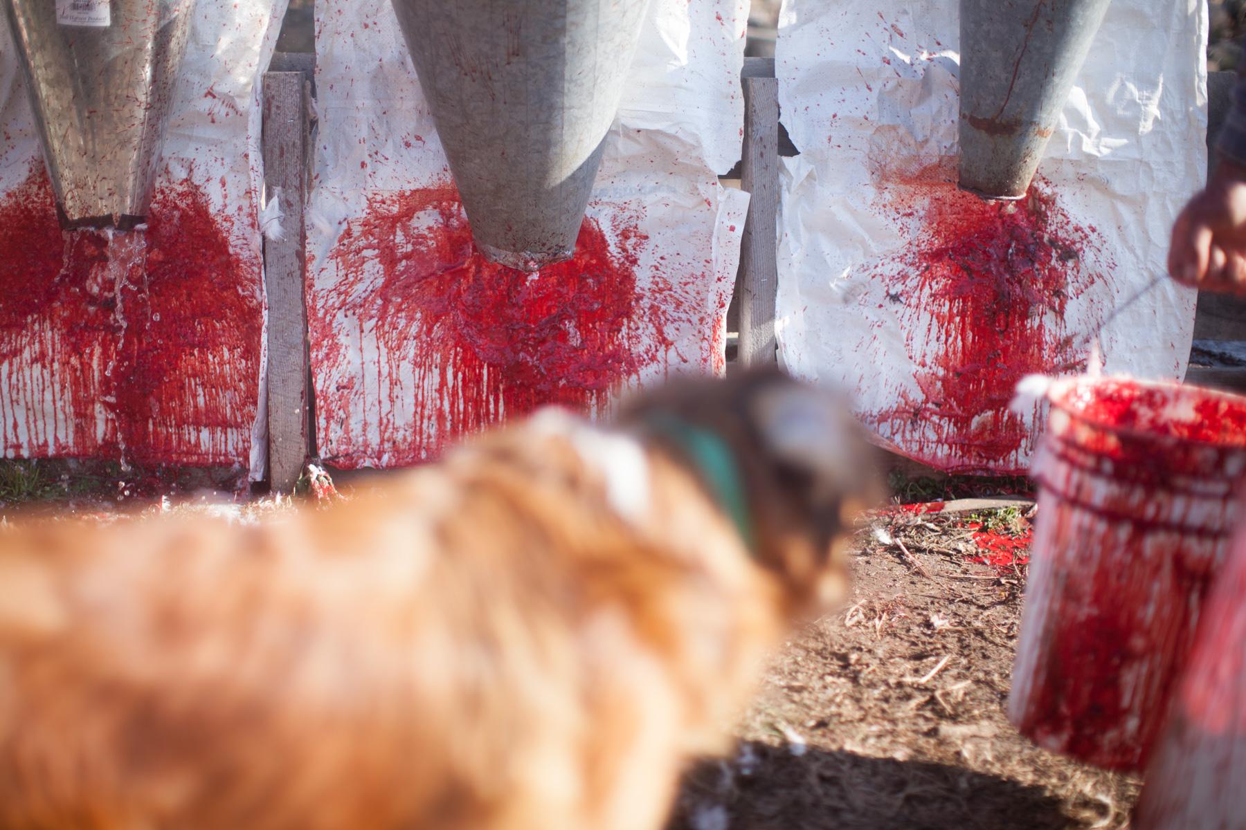 chicken-slaughter-blood