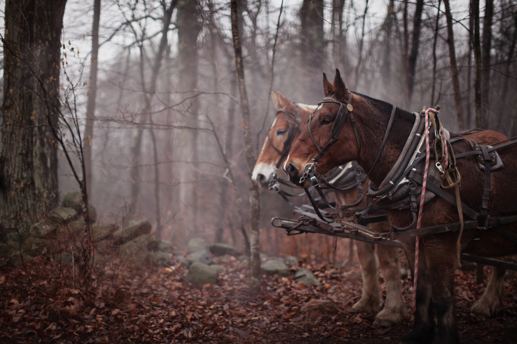 draft-horse-forest