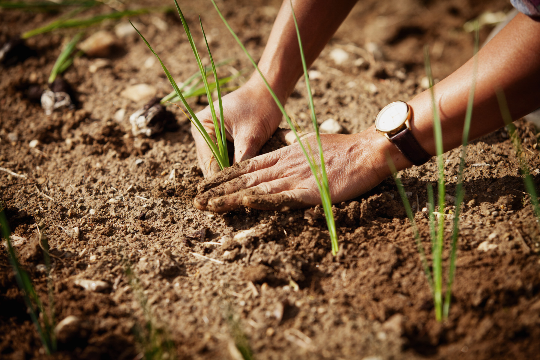 onion-hand-planting