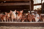 piglets-farm-eating