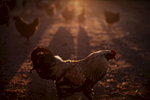rooster-sunset