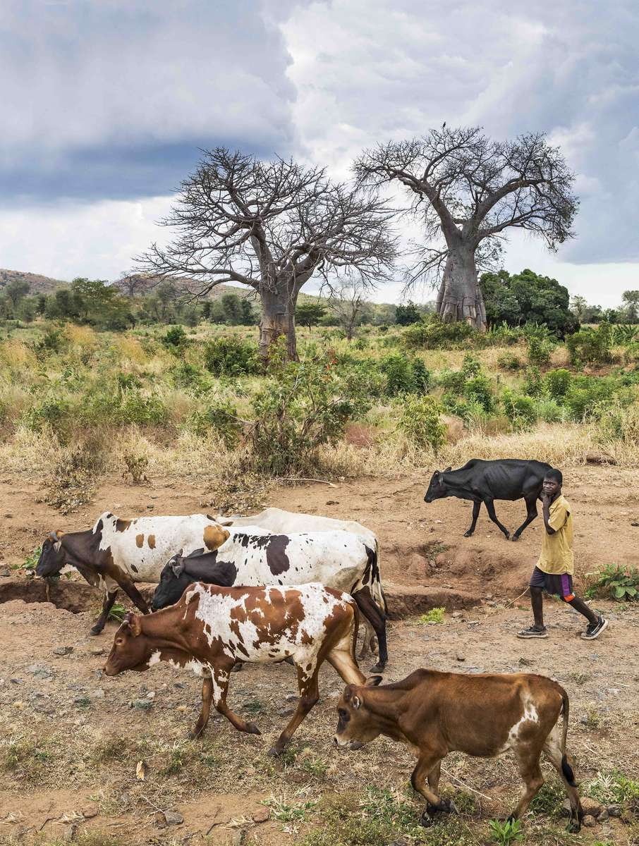 Baobobs and cows, Malawi