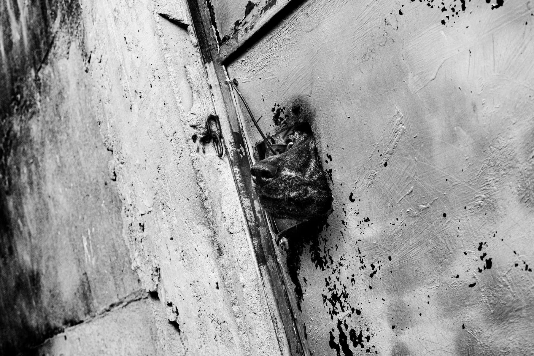 Un perro saca la cabeza por el agujero en una puerta de metal en el barrio pobre conocido como Complexo Alemao, en Río de Janeiro, Brasil, 17 de junio de 2016.