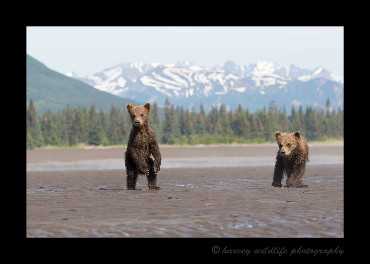 Brown Bear Cubs & Mountains