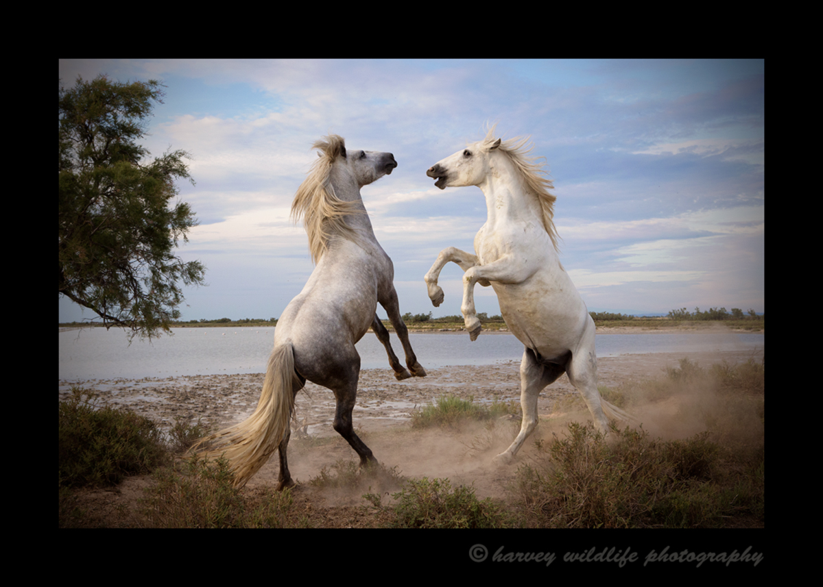 Picture of Camargue horses sparring in Southern France in black and white. Photo by Greg of Harvey Wildlife Photography.