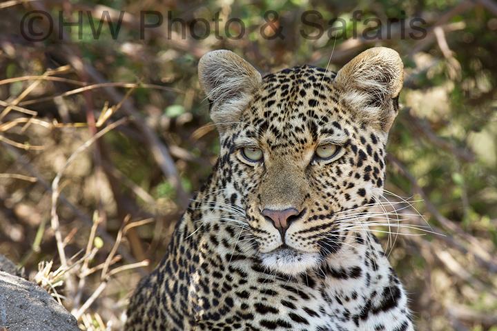 Leopard at Mala Mala