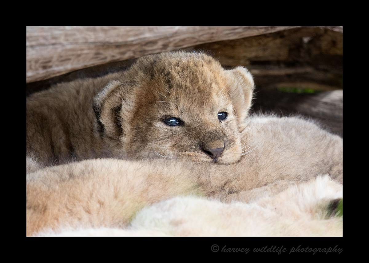This is one of three, three week old lion cubs in the Masai Mara near Governors' Camp.