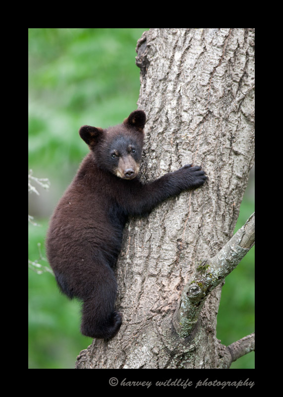Dark Black bear climbing tree