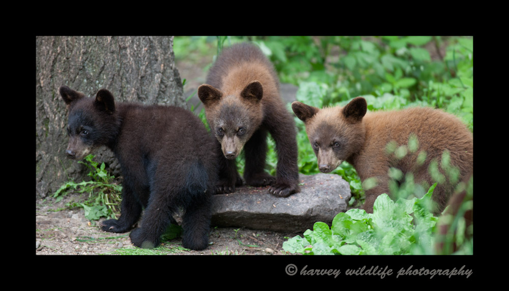 black bear cub triplets