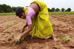 14.07.06. Panthula Palle, Maoist aera, Warangal, Andhra Pradesh, Inde.Lalitha Gone, 24 ans etaient proprétaire avec son mari de 4 acres sur lequel ils cultivaient du coton Bt. Suite à de mauvaises récoltes et des dettes qu'il n'arrivait pas à rembourser, son mari se suicida en 2005.Depuis, Lalitha travaille comme main d'oeuvre sur ses propres terres qu'elle s'est vu confisquer par les prêteurs privés ( moneyleder).  Elle doit encore leur rembourser 255000 roupies ( 4555 euros).
