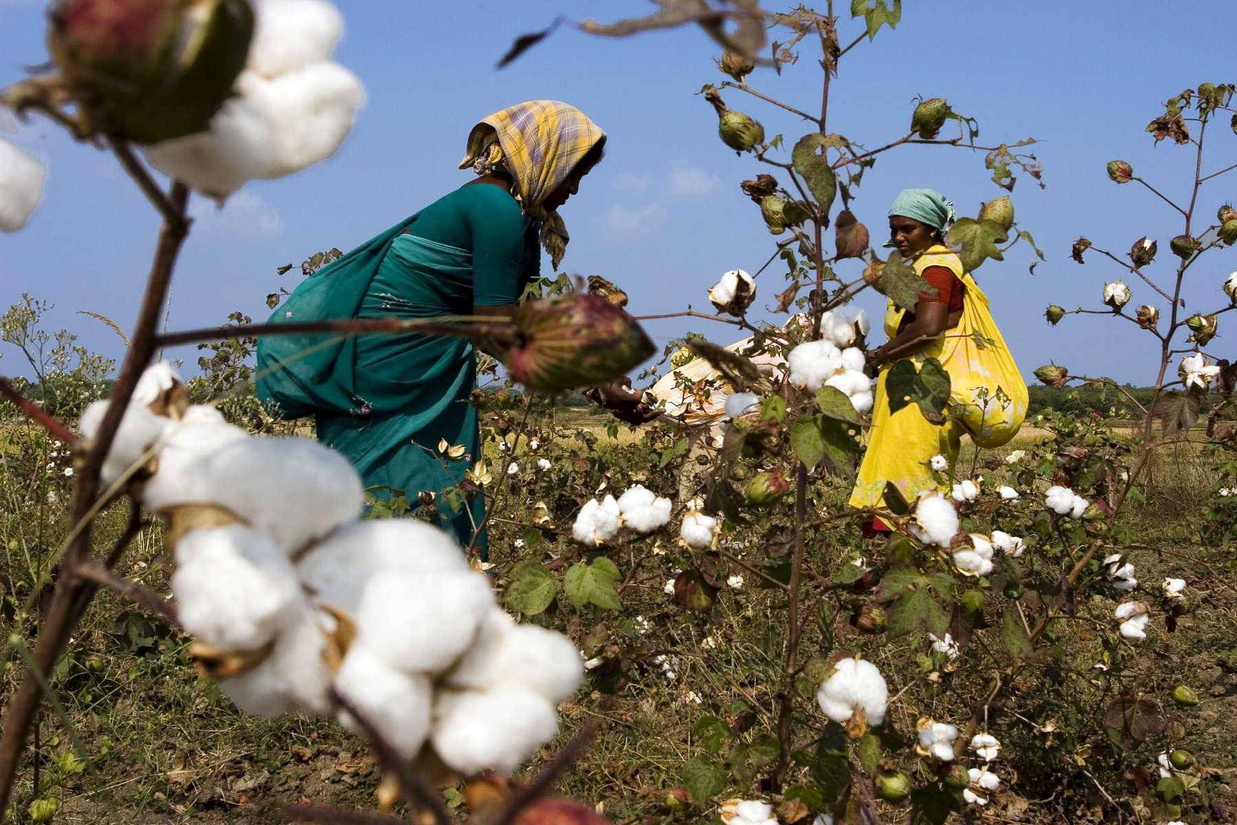 12.12.06.  Shyampetavelli, Warangal, Andhra Pradesh, Inde.Depuis l'implantation de Monsanto en 2002 dans le pays, 90 % des fermiers qui cultivaient du coton biologique, ont accepte de planter des graines de coton genetiquement modifiees (Bt) voyant ainsi la solution miracle pour faire du profit.