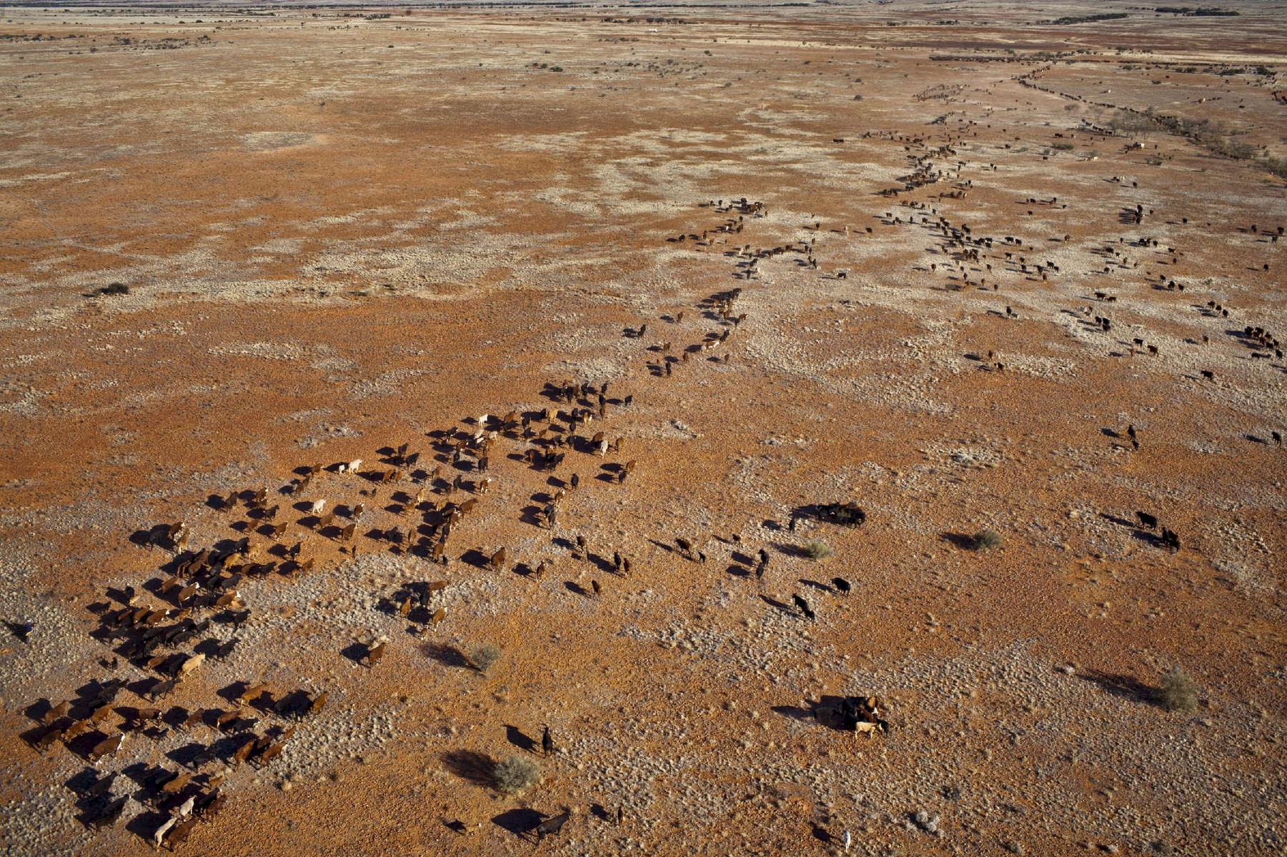 De l'hélicoptère, le pilote repère les bêtes au travers de la rivière Finke asséchée. Une fois les bêtes localisées, il informe par radio les autres membres de l'équipe qui sont à moto et en voiture. Ces derniers prendront le relais pour diriger les bêtes sur les sentiers en direction du lieu de parcage. TN,  Australie, 2011.