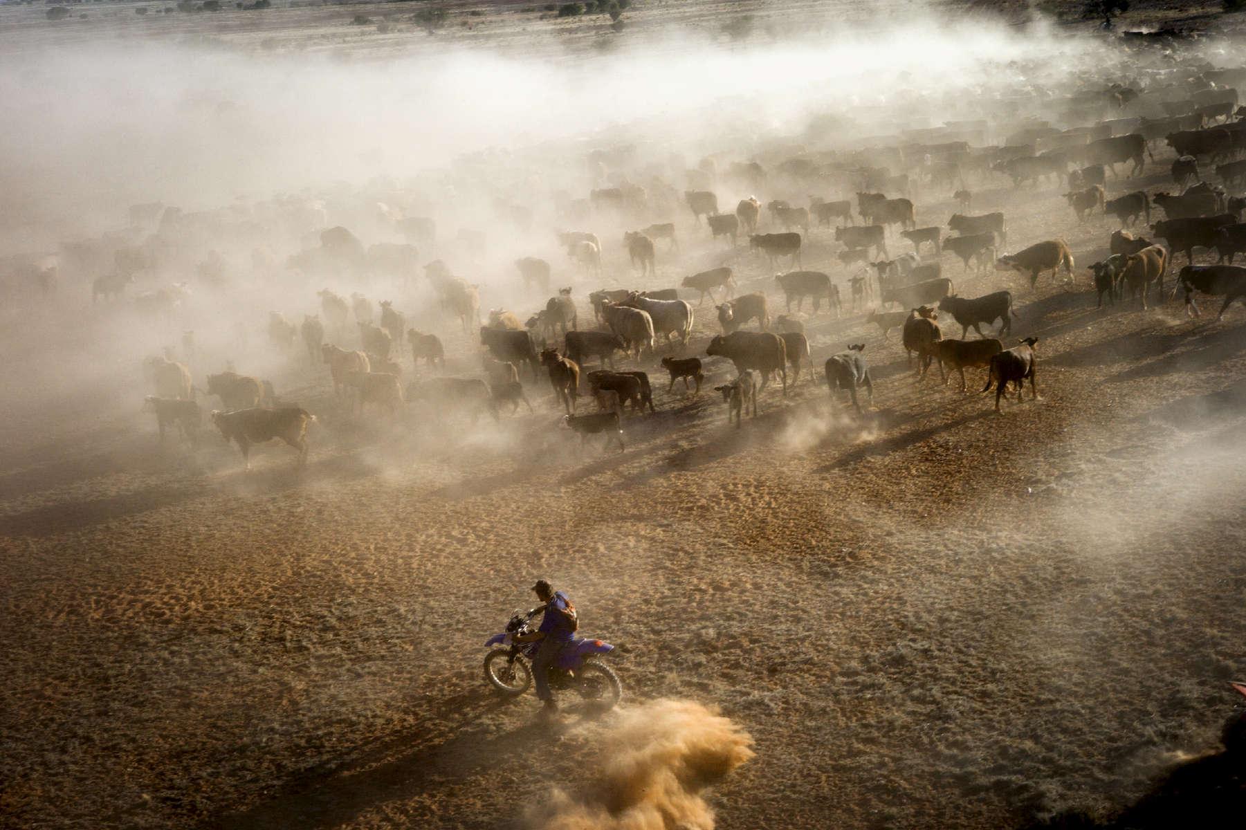 Encerclé par les motos, les voitures et les hélicoptères, le troupeau de 2500 bêtes se dirige vers le lieu de parcage. TN,  Australie, 2011.