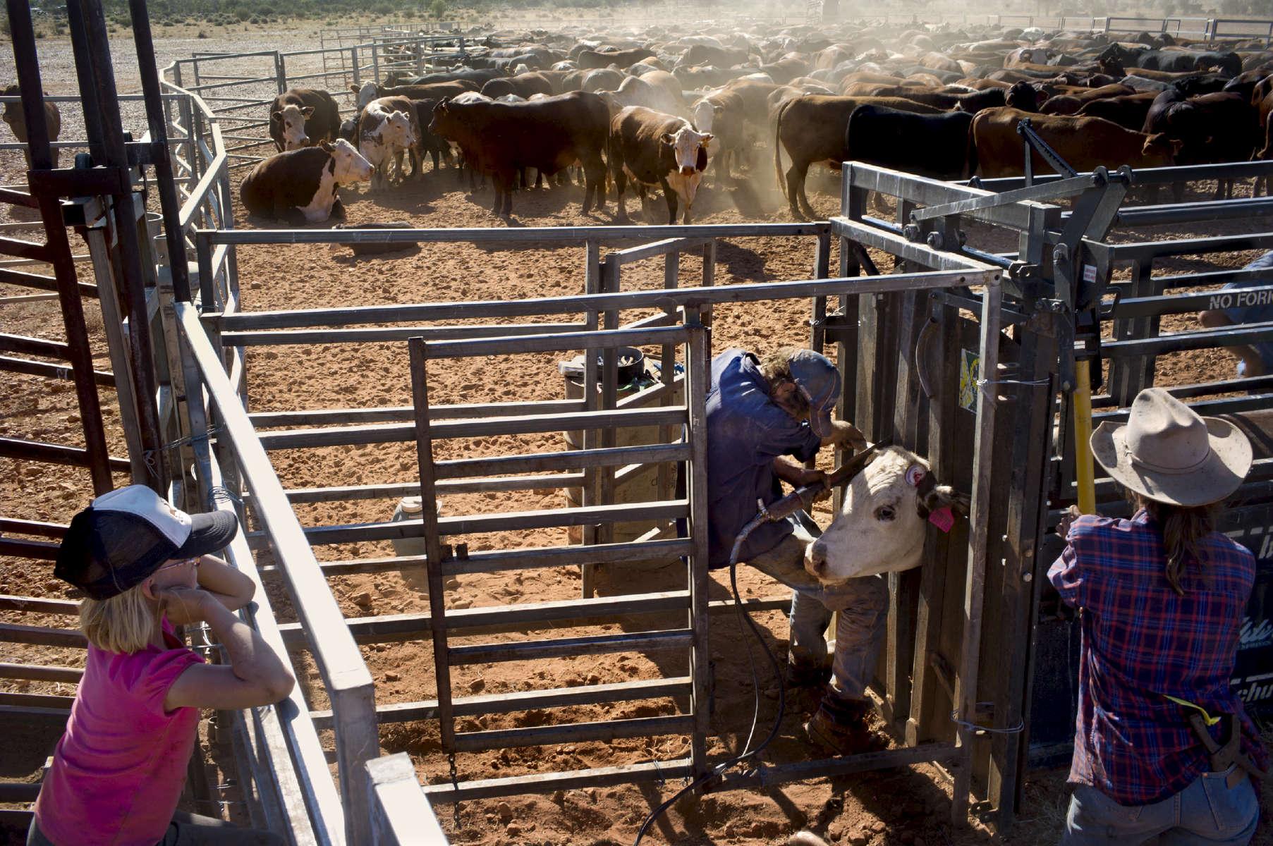 Une fois les bêtes parquées, il faut compter 4 à 5 jours pour les passer une à une afin de les tatouer, les vacciner, leur couper les cornes avant qu'elles ne soient embarquées pour l'abattoir ou redirigées vers un autre pâturage. Il faut compter 4 à 5 ans en pâturage avant d'envoyer les bêtes à l'abattoir. TN,  Australie, 2011.