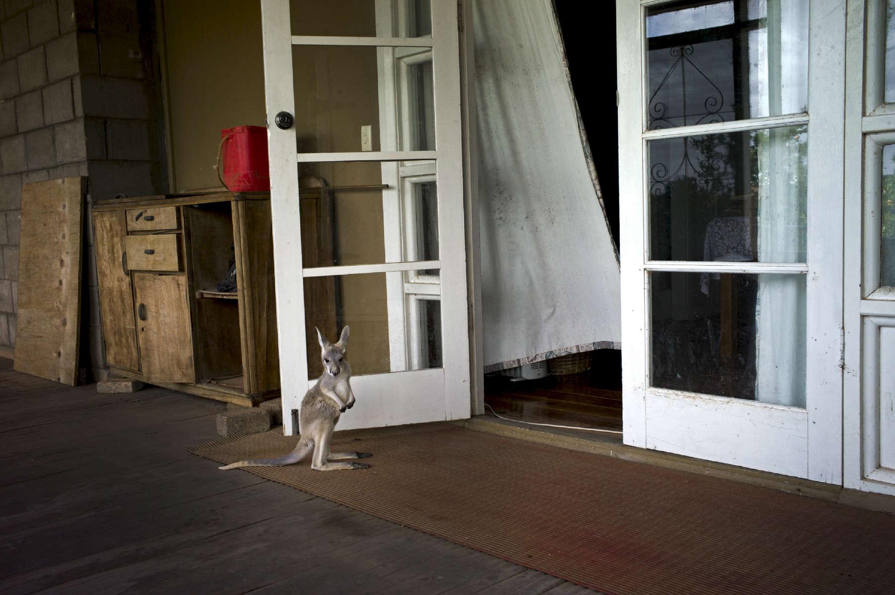 La famille Creed a trouvé un walibi sur le bord de la route auprès de sa mère qui venait de se faire tuer par une voiture. Ils l'ont ramené chez eux afin de le soigner et de s'occuper de lui. Ferme de Cawnalmurtee sur une propriété de 8000 hectares. Nouvelles Galle du Sud, Australie, 2011.