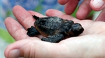 A volunteer looks at an injured Loggerhead sea turtle hatchling after an inventory on Litchfield Beach, South Carolina August 17, 2012.REUTERS/Randall Hill