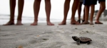 A loggerhead turtle hatchling makes it's way to the surf, as tourists and volunteers look on, at South Litchfield Beach along the coast of South Carolina August 17, 2012. South Carolina United Turtle Enthusiasts (SCUTE), is a group of volunteers dedicated to sea turtle conservation in Georgetown and Horry counties.REUTERS/Randall Hill