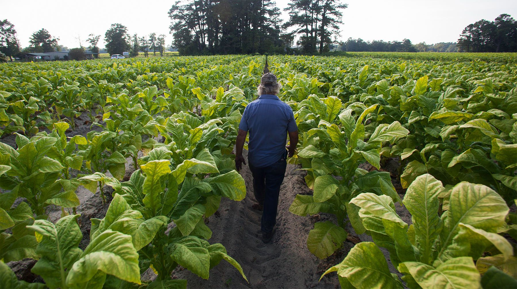 Lester {quote}Buddy{quote} Stroud, a farm hand at Shelley Farms, walks through a field of tobacco ready to be harvested in the Pleasant View community of Horry County, South Carolina July 26, 2013. The traditional tobacco harvest requires many labor intensive hours to bring the crop to market, especially with the flue-cured variety prominent in the southern United States. With the growing health concerns with smoking in the US, most farmers use market cooperatives to sell their crop to the growing markets in China. Picture taken on July 26, 2013.   REUTERS/Randall Hill (UNITED STATES)