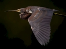 A Tricolored Heron in flight at Huntinton Beach State Park.