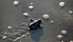 A Loggerhead sea turtle hatchling makes its way to the ocean after an inventory on Litchfield Beach, South Carolina August 17, 2012.REUTERS/Randall Hill
