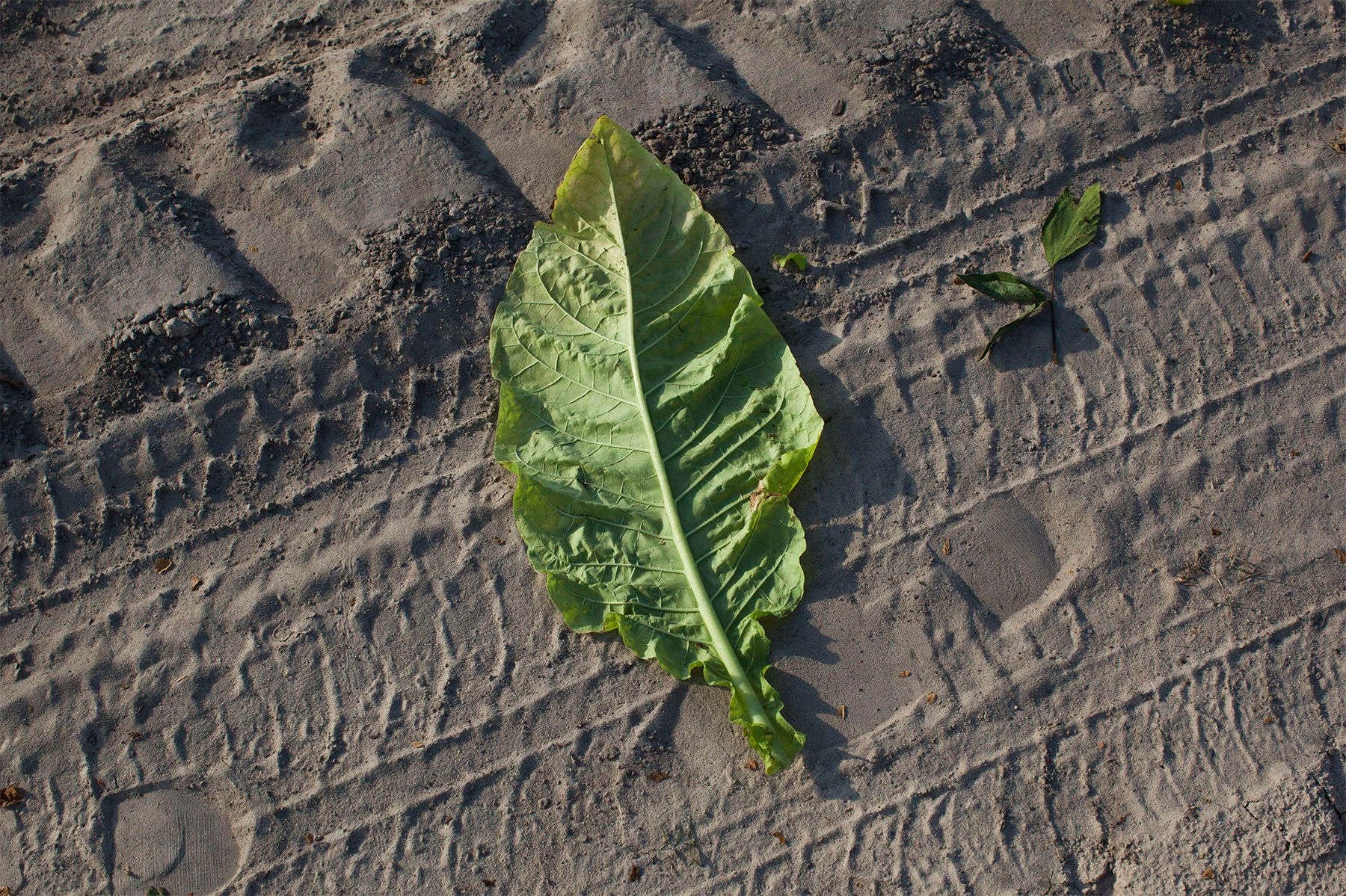 A bottom leaf of tobacco lays on a sandy road at a field maintained by Shelley Farms in the Pleasant View community of Horry County, South Carolina July 26, 2013. The traditional tobacco harvest requires many labor intensive hours to bring the crop to market, especially with the flue-cured variety prominent in the southern United States. With the growing health concerns with smoking in the US, most farmers use market cooperatives to sell their crop to the growing markets in China.      Picture taken on July 26, 2013.   REUTERS/Randall Hill (UNITED STATES)