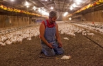 Chicken farmer Craig Watts looks at his hand after euthanizing an injured bird at C&A Farms in Fairmont, North Carolina June 10, 2014. More than 120,000 mid-flock chickens are being grown for slaughter in cramped confines and almost constant darkness. When the chicks arrived from a Perdue Farms hatchery three weeks ago, scores had deformed legs and missing eyes -- indicators that some were already in poor health. Watts, a contract grower for Perdue, spends his mornings separating and removing dead and sick birds from the flock. An estimated 3,000 birds will die by the end of this flock's six week growing period. Picture taken June 10, 2014. REUTERS/Randall Hill (UNITED STATES)