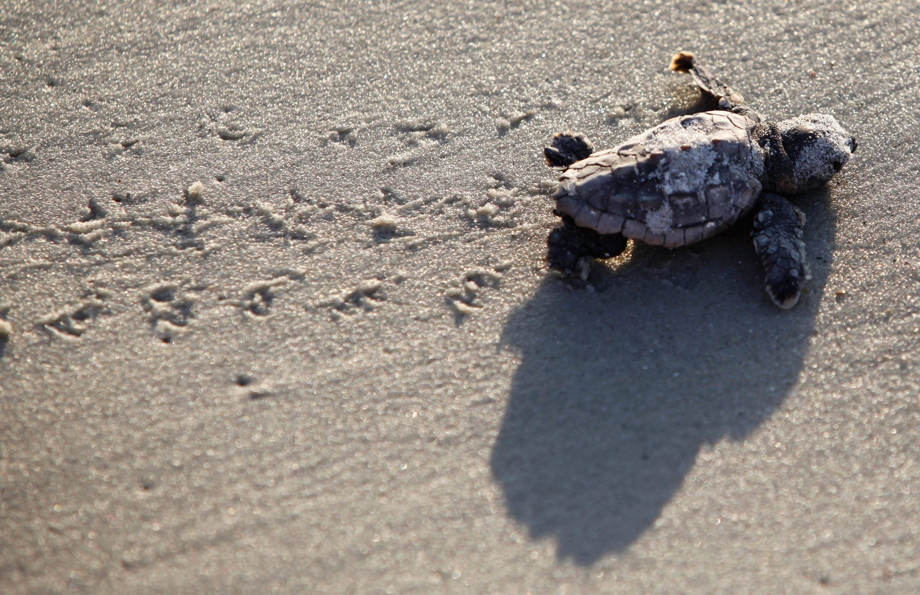 A Loggerhead turtle hatchling makes its way to the surf at Myrtle Beach State Park in Myrtle Beach, South Carolina August 4, 2012. Nest inventories are taken three days after the nests hatch and the empty egg shells are categorized and the information is sent to researchers. Turtle volunteers walk the area's beaches along South Carolina's coast daily during the nesting season, looking for signs of turtle activity and keeping tabs on the progress of the endangered species of turtles that lay their eggs along the coast. REUTERS/Randall Hill