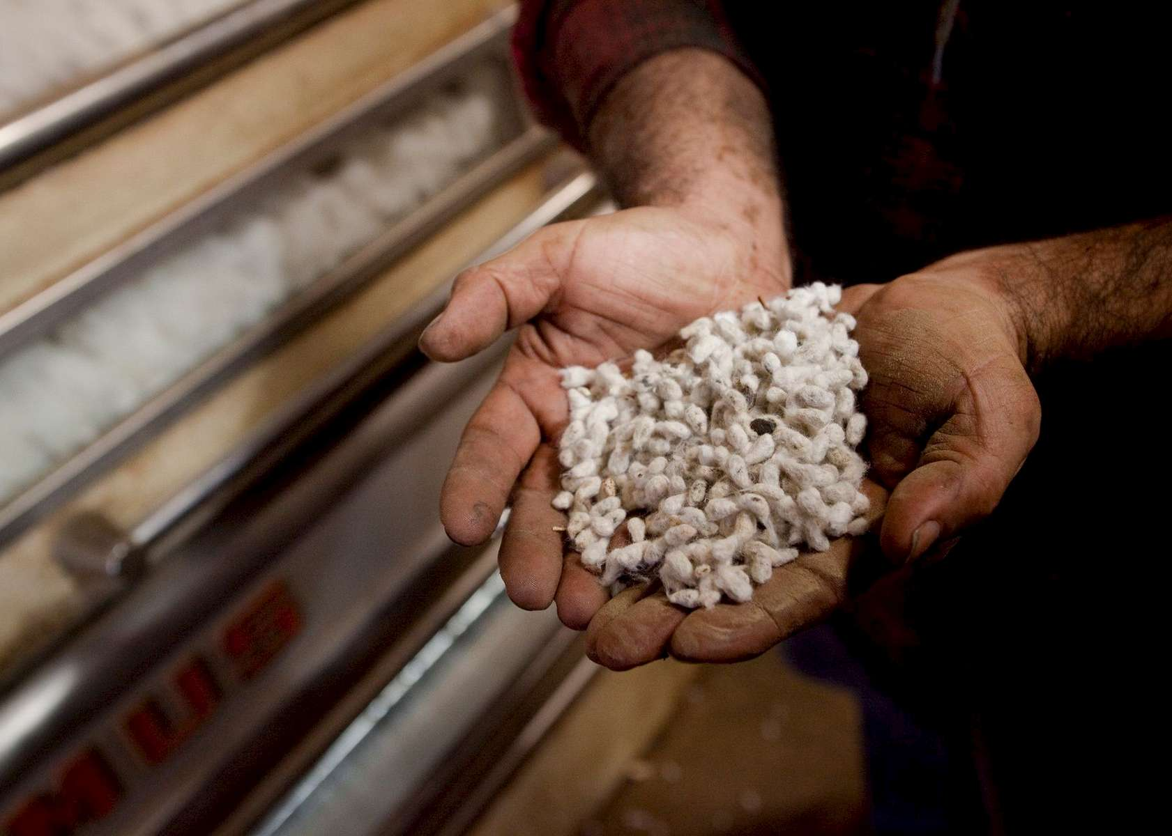 Gin operator Robert Espino of Weslaco, Texas, inspects cotton seeds as they are ginned from cotton at the Minturn Cotton Company in Minturn, South Carolina November 27, 2012. Cotton seeds are gathered and sold for animal feed and cotton seed oil and defer the costs of the ginning process for area cotton farmers.   REUTERS/Randall Hill (UNITED STATES)