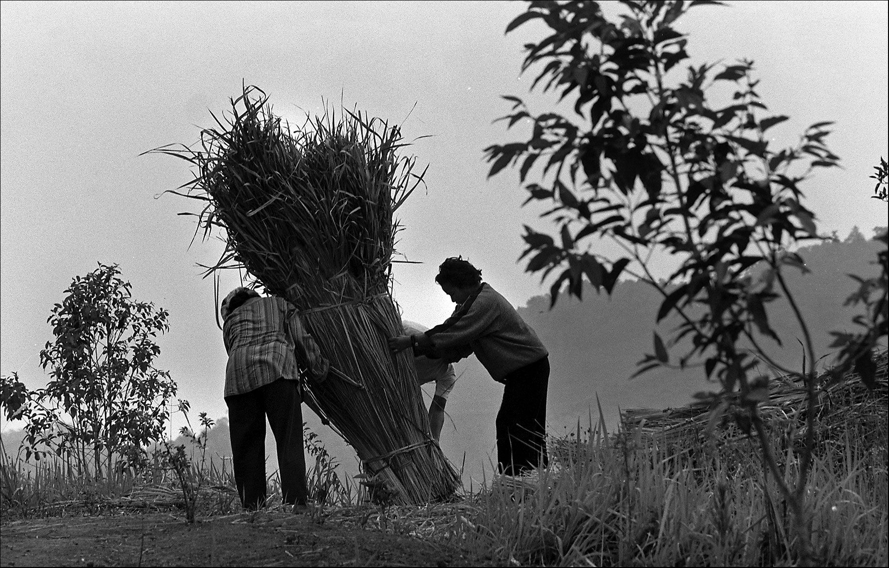 Akha villagers bundle hay for repairs to their grass huts.