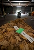 Warehouse worker David Montgomery sweeps tobacco from the floor at Big L Warehouse in Mullins, South Carolina July 29, 2013. The traditional tobacco harvest requires many labor intensive hours to bring the crop to market, especially with the flue-cured variety prominent in the southern United States. With the growing health concerns with smoking in the US, most farmers use market cooperatives to sell their crop to the growing markets in China.      Picture taken on July 29, 2013.   REUTERS/Randall Hill (UNITED STATES)