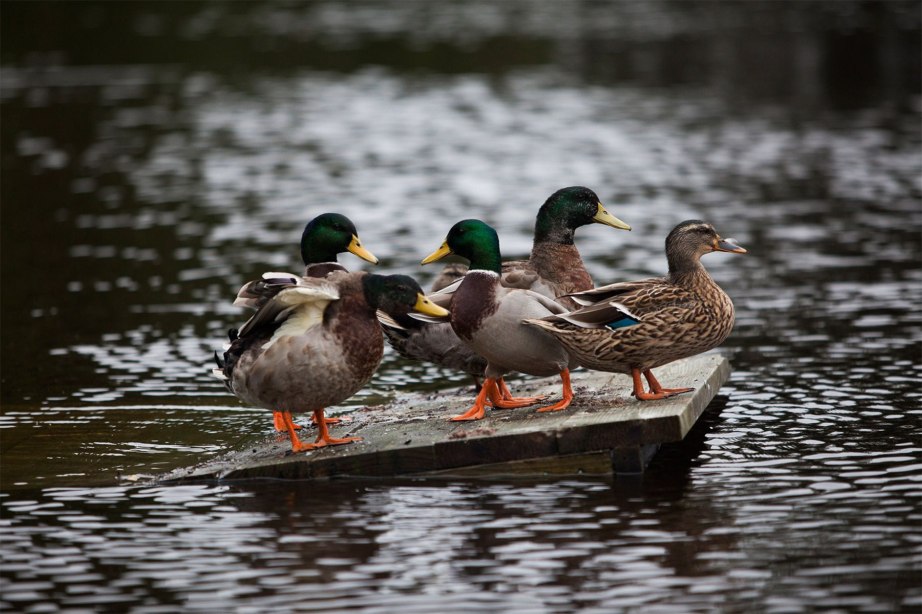 Mallard Ducks find a high spot along the flooded area along Waccamaw Lake Drive in Conway, South Carolina October 6, 2015. Floodwaters from unprecedented rainfall in South Carolina have killed 11 people, closed some 550 roads and bridges and prompted hundreds of rescues of people trapped in homes and cars, officials said on Monday. REUTERS/Randall Hill