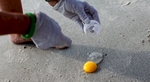 South Carolina United Turtle Enthusiasts (SCUTE) coordinator Sue Habermeier opens a Green turtle egg for a DNA sample on Garden City Beach, South Carolina August 13, 2012. During a nest relocation or inspection, one egg is sacrificed for the DNA sample located in the membrane on the inside of the shell that scientists use to track the female turtles.REUTERS/Randall Hill