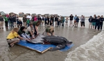 Staff with the South Carolina Aquarium, the Sea Turtle Rescue Program and South Carolina Department of Natural Resources, release a leatherback turtle in Isle of Palms, South Carolina March 12, 2015. The 475-pound turtle was the first living leatherback turtle to be recovered in South Carolina and one of only a handful ever treated at rehabilitation facilities in the United States. It was found March 7 on the beach on Yawkey-South Island Reserve, a 3.5-mile-long (5.6-km-long) barrier island and wildlife preserve near Georgetown, South Carolina. REUTERS/Randall Hill